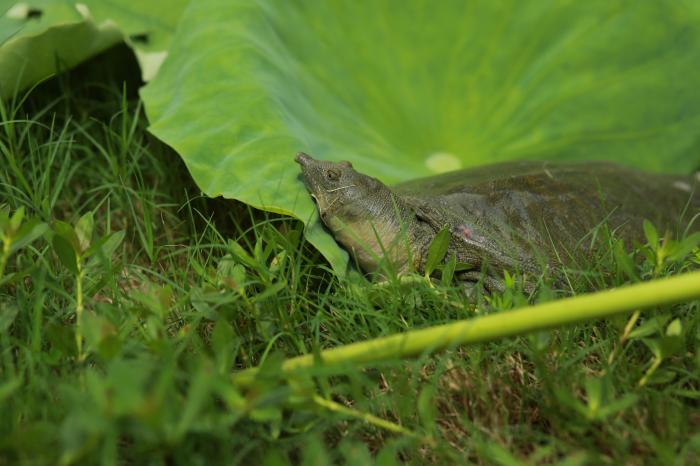 河洲甲鱼:如果判断野生甲鱼和缩短甲鱼养殖周期?