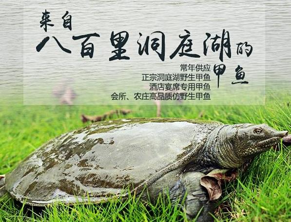 甲鱼、鳖、乌龟、王八区别在哪,看完秒懂