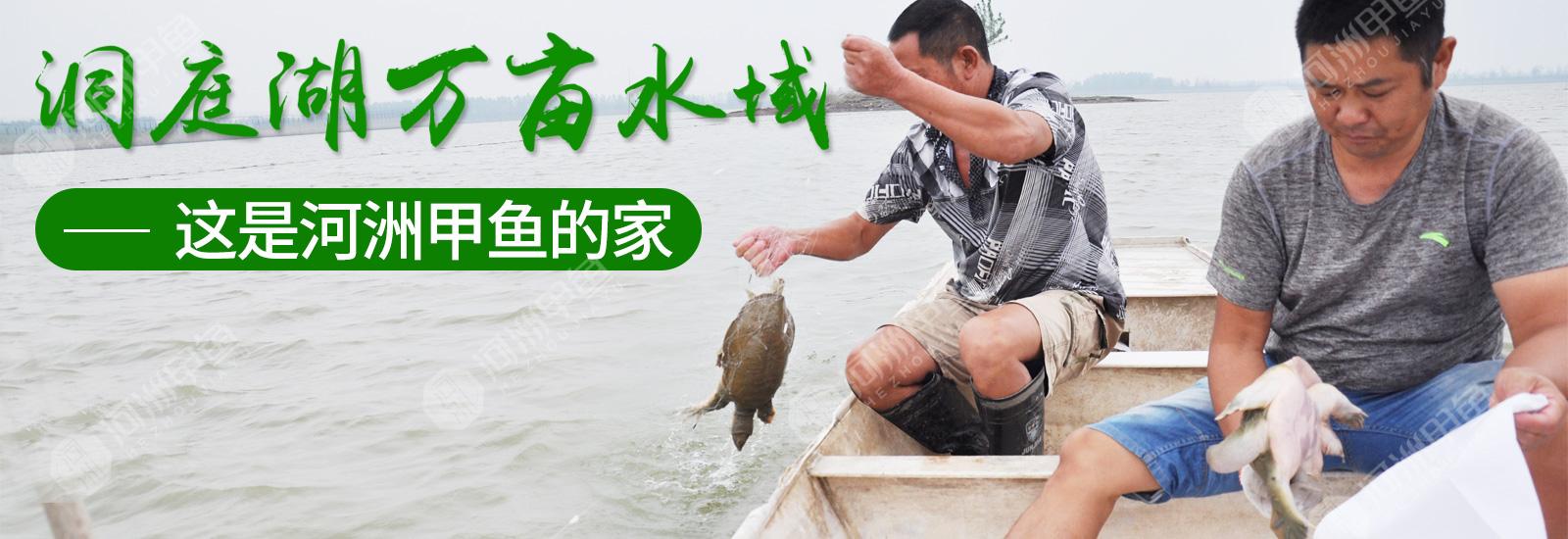 甲鱼是如何孵化的,甲鱼孵化步骤总结[今日资讯]